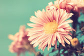 Delicate pale pink vintage asters — Stock Photo