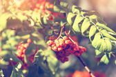 Viburnum branch in park — Stock Photo