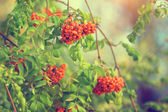 Beautiful viburnum branches in park — Stock fotografie