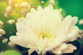 Bouquet with lovely white aster close up — Stock Photo