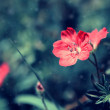 Lovely pale red flower on a meadow — Stock Photo