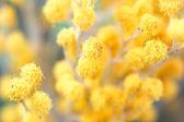 Twigs of spring mimosa flower. macro shot — Stock Photo