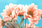 Beautiful pale pink flowers on a blue background — Stock Photo