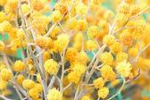 Mimoza çiçeği twigs — Stok fotoğraf