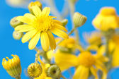 Yellow flowers on a bright blue background — Stock Photo