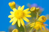 Bright yellow flowers — Stock Photo