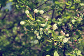 Blooming tree branch with soft white flowers — Foto Stock