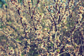 Blooming tree branches in spring — Foto de Stock