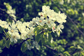 Blooming tree branch with white flowers — Stock Photo
