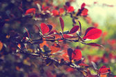 Beautiful red leaves on a tree — Stock Photo
