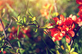 Spring twigs with beautiful red flowers — Stock Photo