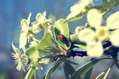 Ladybug on a blooming tree branch — Stock Photo