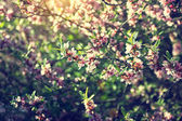 Sunlit blooming branches with pink flowers — Stock Photo