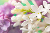 Floral background with cute white lilac flowers close up — Stock Photo