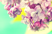 Branch of tender lilac flowers — Stock Photo
