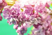 Delicate lilac flowers — Stock Photo