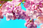 Lovely lilac flowers on a blue background — Stock Photo