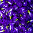 Stock Photo: Purple flowers,Peflowers.