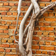 Stock Photo: Root wood covered brick wall