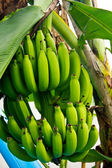 Green bananas on the Tree — 图库照片