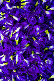 Purple flowers,Pea flowers. — Stock Photo