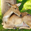 Deer in Thailand zoo — Stock Photo