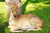Deer in Thailand zoo — Stock Photo