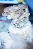 Oyster mushrooms cultivation on the plastic bag with mycelium — Stock Photo