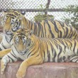 Two tigers — Stock Photo