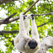 Stock Photo: White-handed gibbon