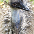 Stock Photo: Closeup Emu eye