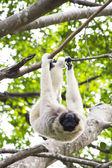 White-handed gibbon — Stock Photo