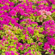 Beautiful red, purple, pretty, plant, pink,Yellow, white, flower — Stock Photo #19275497