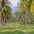 Arranged in a row, the coconut trees — Stock Photo