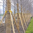 Linden-tree trees lined up at nursery — Stock Photo