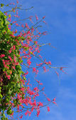 Pink Coral Vine flower on the blue sky background. — Stock Photo