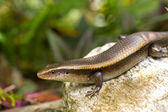 Variable Skink resting on rock elevated view — Stock Photo