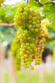 Seedless grapes ripen on the tree — Stok fotoğraf