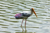 Pelicans have a rest and clean the feathers on tropical and swim — Stock Photo