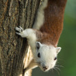 Squirrel climbing on tree and looking — Stock Photo #37028119