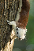 Squirrel climbing on tree and looking — Stock Photo