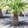 Stock Photo: Palm - Canary Islands
