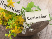 Fresh St John's wort and coriander — Stock Photo