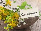 Fresh St John's wort and coriander — Stock Photo
