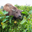 Buffalo in field of thailand — Stock Photo