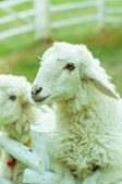 Two Sheep in corral with nature light — Stock Photo