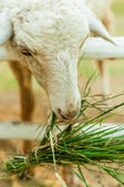 Sheep eating grass in corral  — Foto de Stock