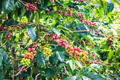 Coffee beans ripening on tree — Stock Photo