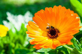 Orange calendula flowers with bee in garden — Stock Photo