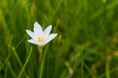 White flower on grass background  in garden — Stock Photo